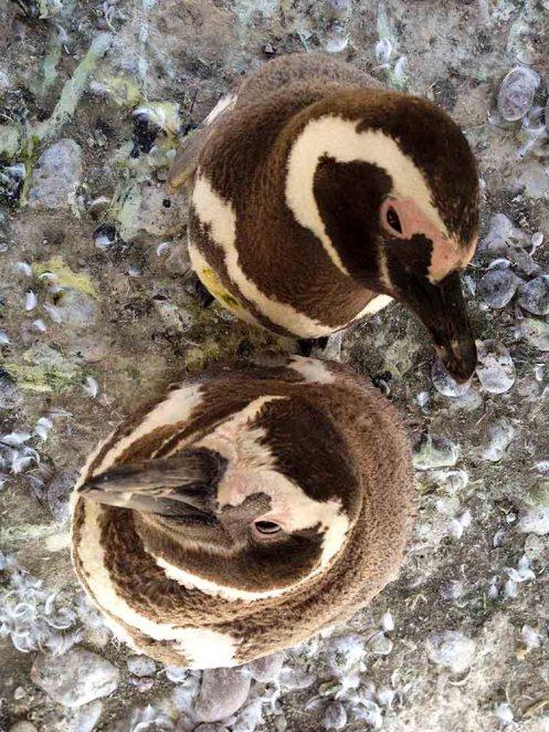 Megallanes Penguins