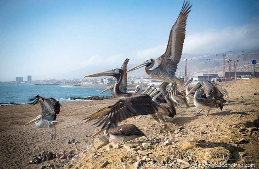 Pelicans of Antofagasta, Chile