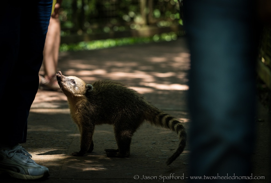 A cheeky coati on the scavenge for food, at Iguazu Falls
