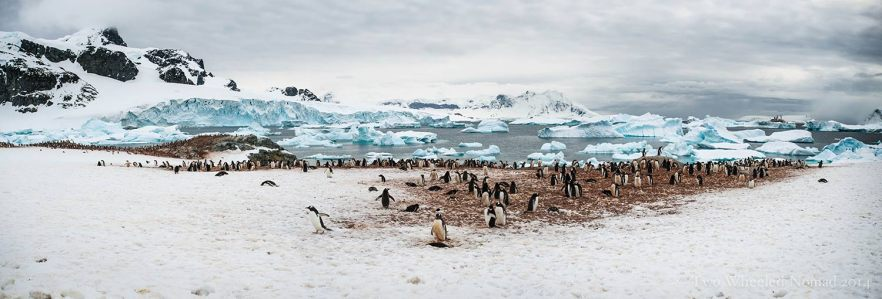 Gentoo penguin colony, Antarctica