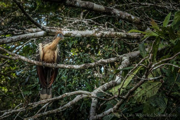 The Hoatzin 'stink' bird