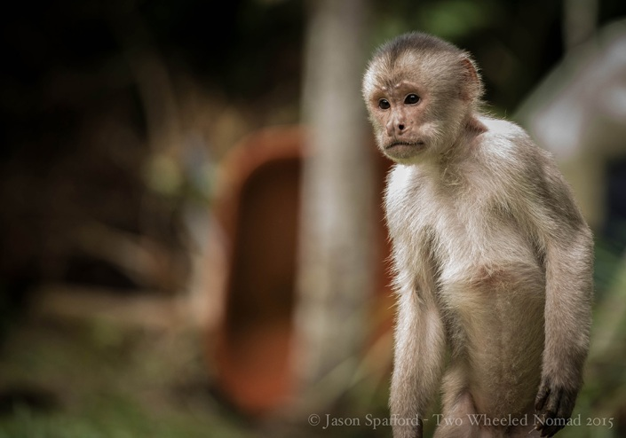 A curious little capuchin monkey in search for food