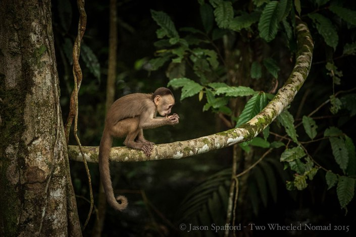 Capuchin monkey - as curious as they come!