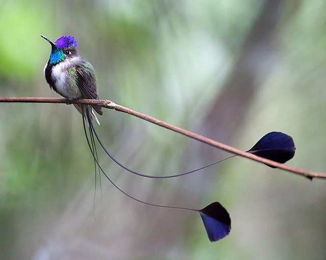 The Marvelous Spatuletail hummingbird