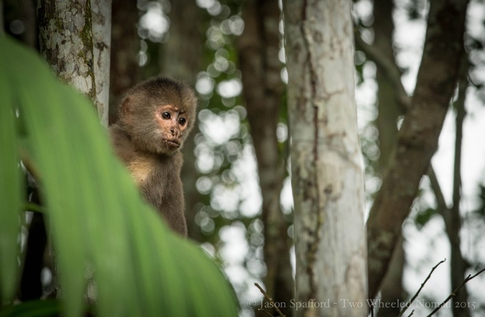 A capuchin monkey seeing what's what before taking the plunge