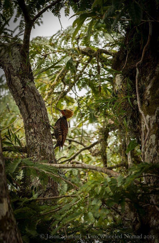 A rare ringed woodpecker
