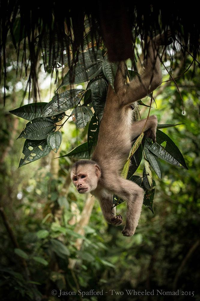 Capuchin alpha male