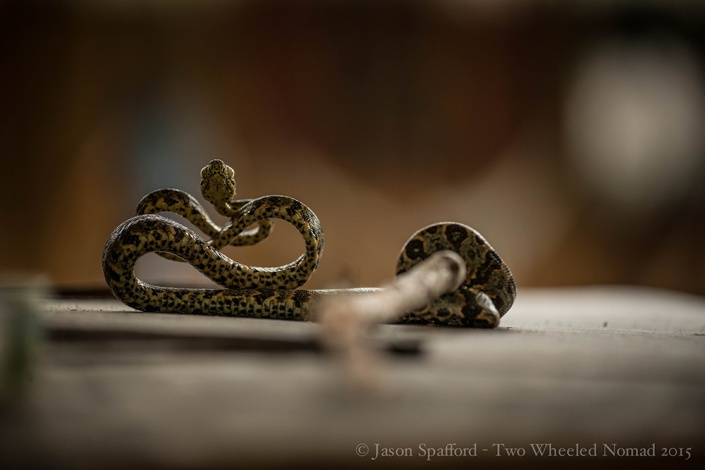 Coiled tightly from the vibration of a didgeridoo (snakes don't have ears)
