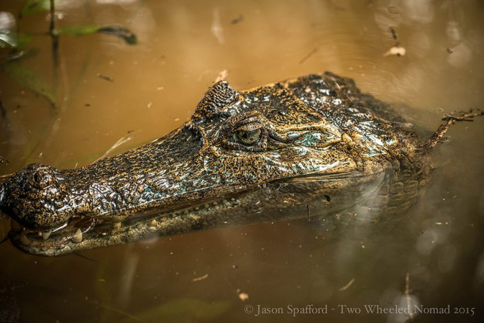A spectacled caiman lurking in the waters close to our lodge