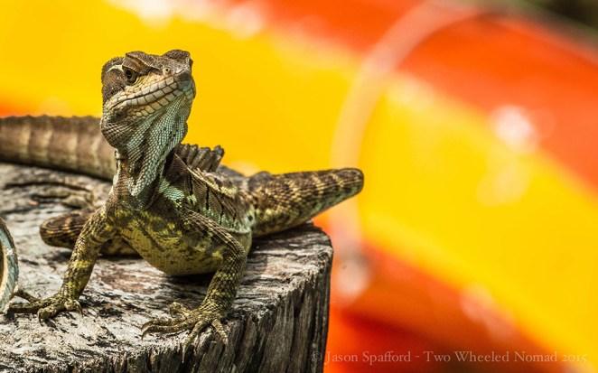 A Jesus Christ lizard: it can run so fast, it can walk on water!