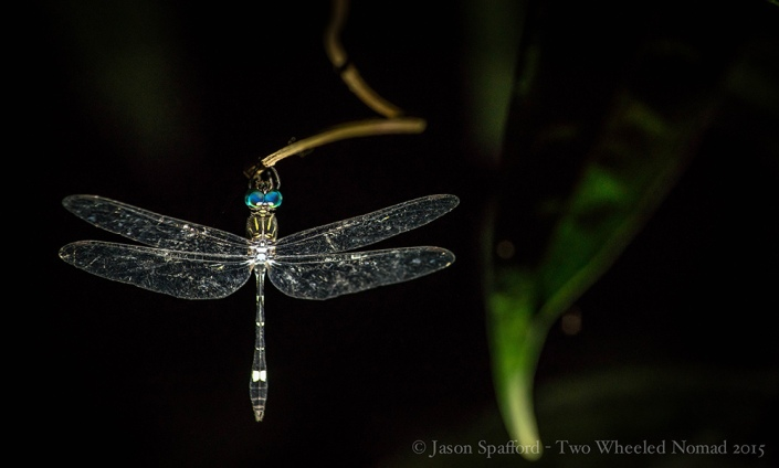 About the most majestic dragonfly I've ever laid my eyes on...