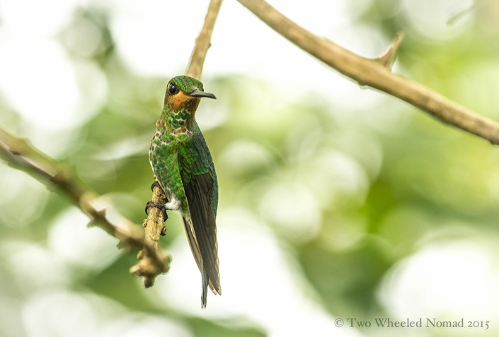 Delicately perched on weak feet (hummingbirds rarely walk as their happy place is in the air)