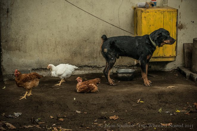 Chickens and big dogs hanging together