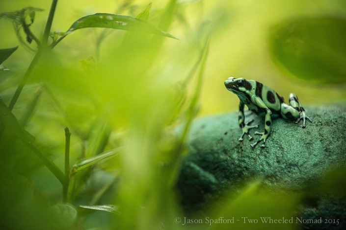 A green and black poison arrow frog