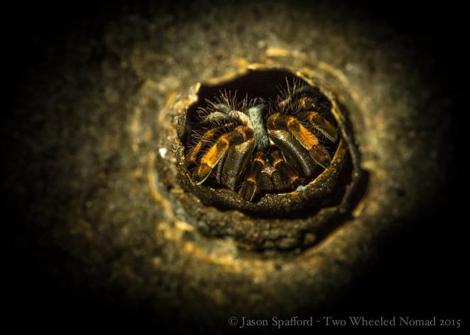 An orange-kneed tarantula, Monteverde