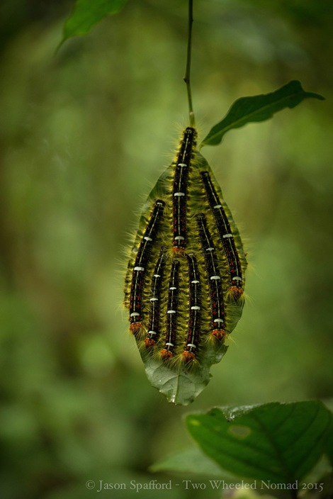 Caterpillars hanging out