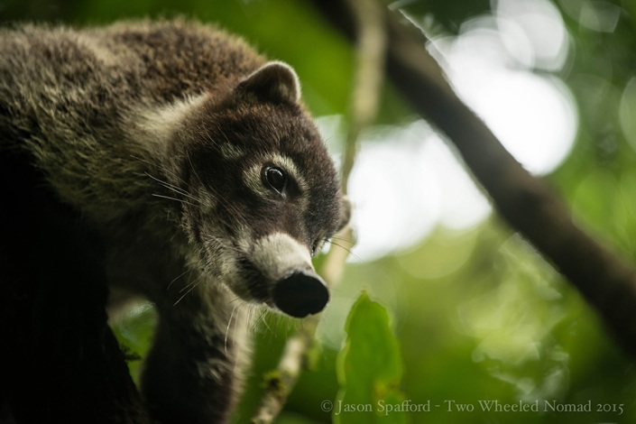 A coati roaming through the cloud forest, Monteverde