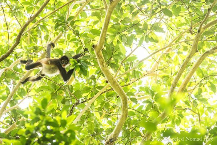 The spider monkeys in full swing!