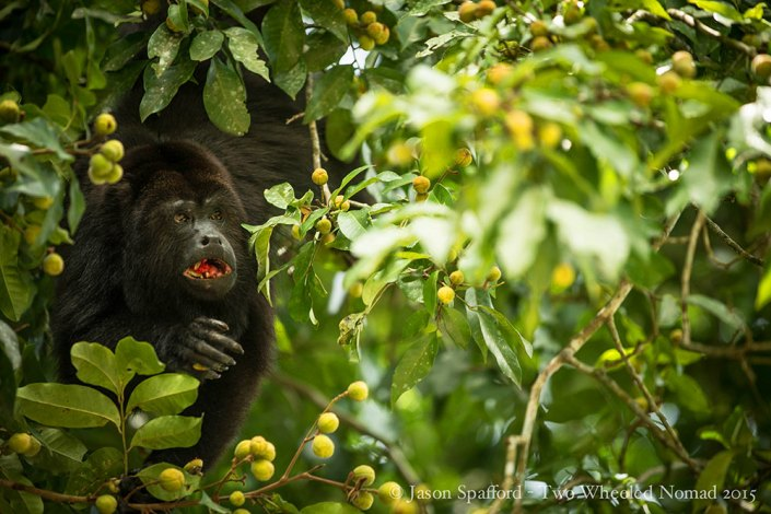 One of the local residents at Tikal, a howler monkey.