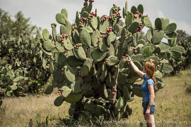 Picking the free cactus fruit at Teotihuacán