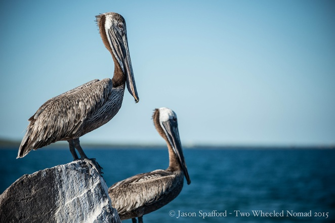 Peeking at a pair of pelicans