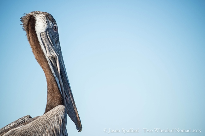 Pelican on the waters off Loreto