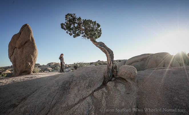 A rather splendid Joshua Tree
