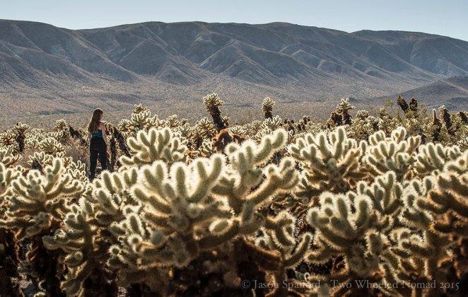 Cholla (pronounced choy-ar) cactus