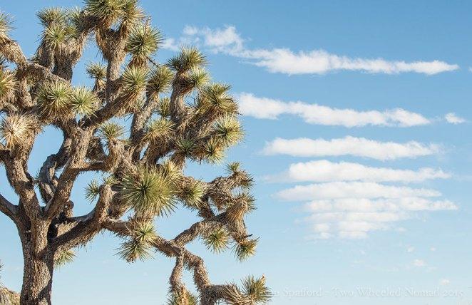 A lovely little Joshua tree