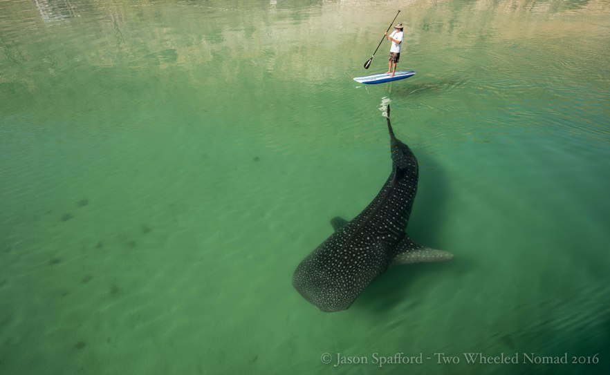 Whale shark and paddle boarder
