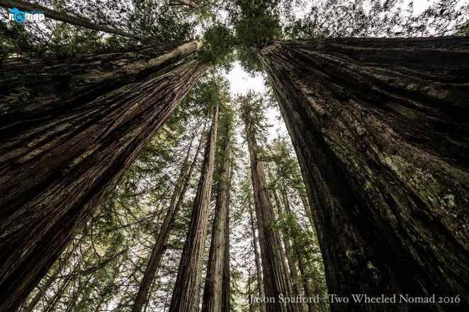 Neck-craning splendour, Prairie Creek Redwoods State Park.