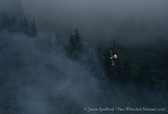 You can't miss the baldies in Southeast Alaska--they're like crows up here!
