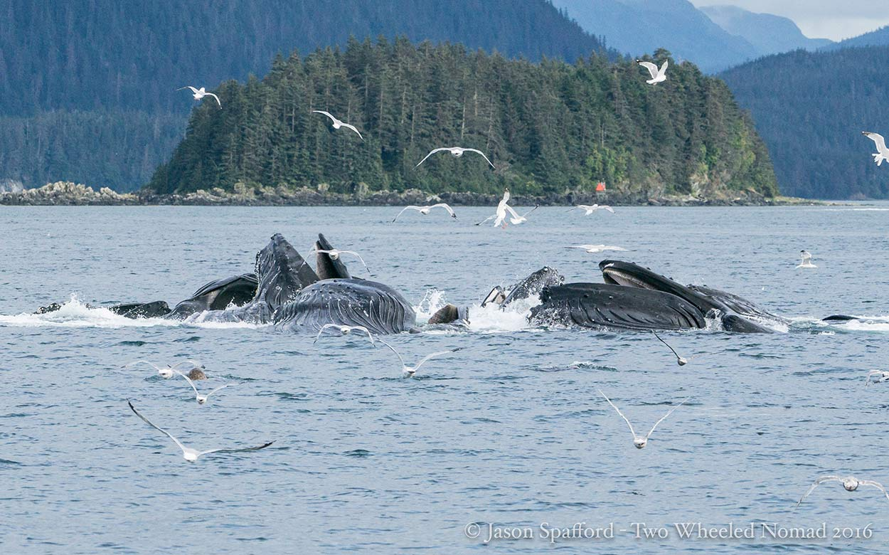 The curious phenomenon of bubble-net feeding: only in Southeast Alaska.
