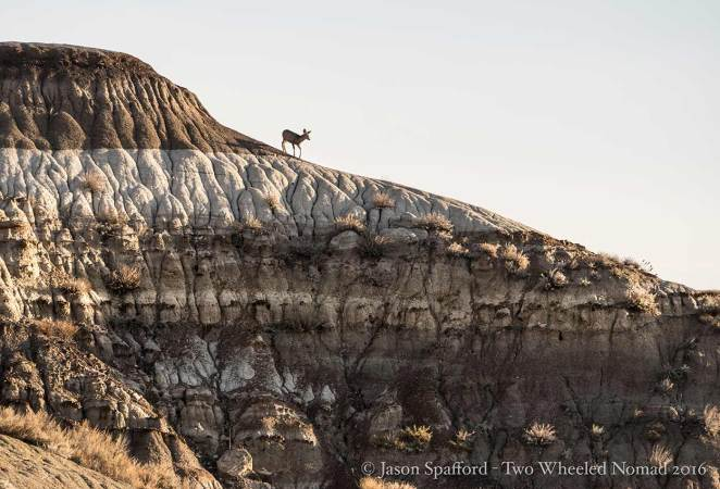 A mule deer poised for a perfect shot, why thank you chap!